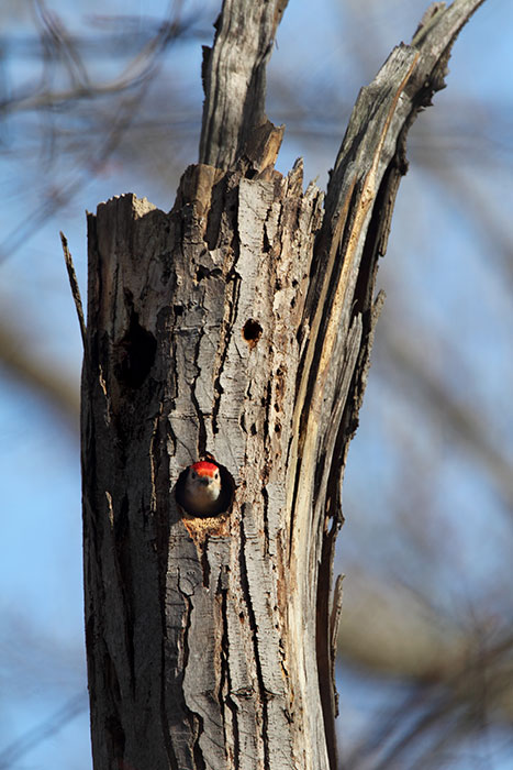 It's the mating season and time for the male woodpecker to start preparing the nest